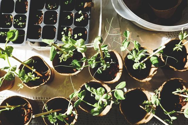 mladý hrách, pěstování v květináči